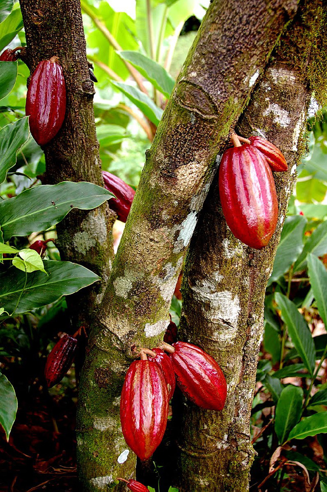 L'industrie du cacao promet un plan contre la déforestation